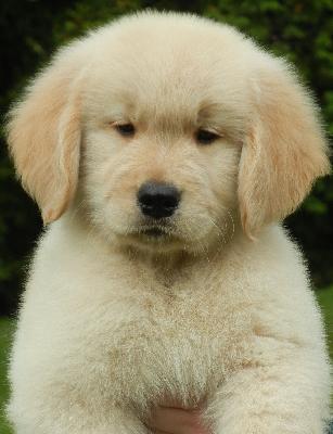 Cabaret Golden Retrievers At Gun Dog Directory