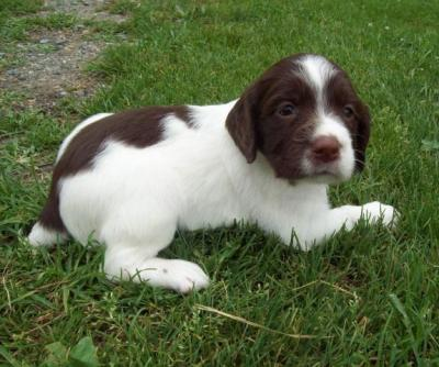 Springer Spaniel Breeders Wi - Goldenacresdogs com
