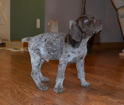 German Shorthaired Pointers For In Nc