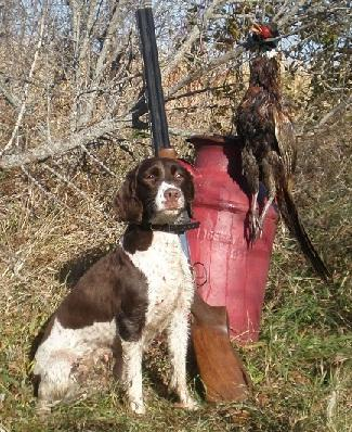 Blue River Kennel Field Bred English Springer Spaniels At Gun Dog